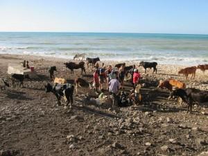 seasidecows