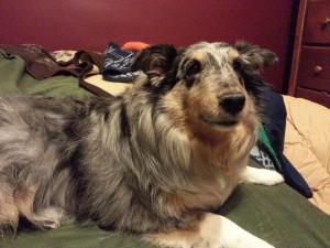stormy, shetland sheepdog, rescue dog